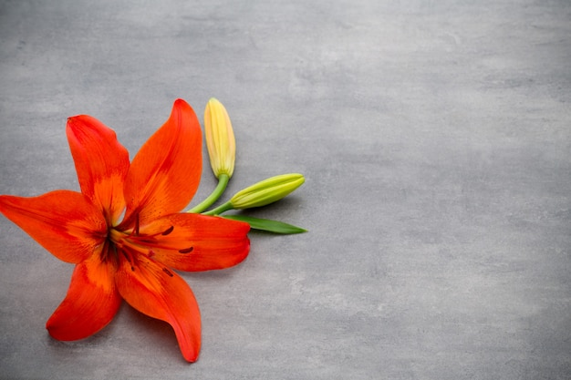 Lily flower with buds on a gray