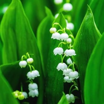 Ландыш цветы весной дождливый лес
