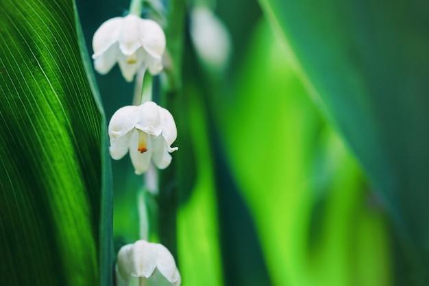 Цветы ландыша с зелеными листьями, освещенными солнечным светом