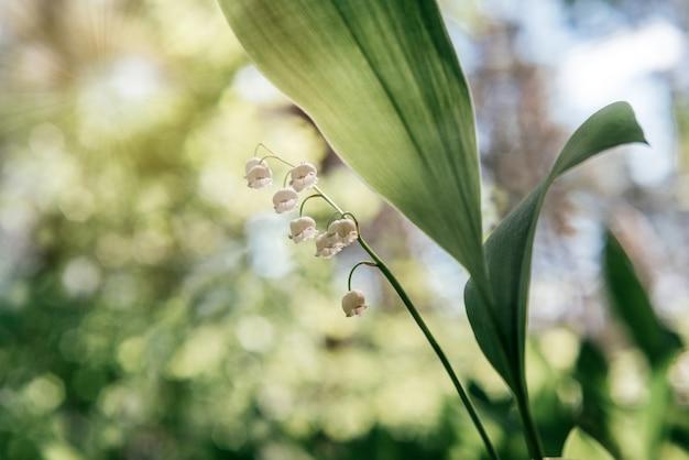 녹색 보케 배경 봄과 여름 꽃 배경에 꽃이 만발한 은방울꽃