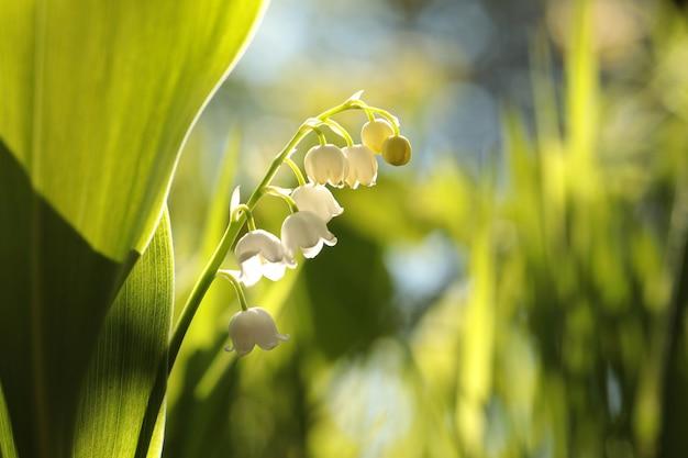 은방울꽃 숲에서