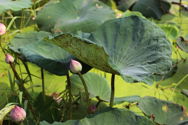 Lily pad and lotus bud