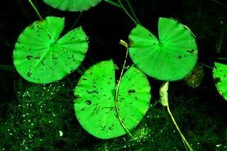 Lily pads, lilypads