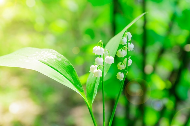 Lily of the valley. fresh bouquet of blooming forest flowers.