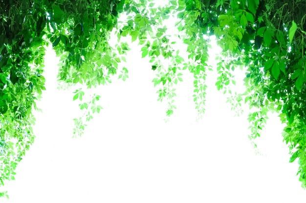 アーチからぶら下がっている植物を登る。バックライト。白色の背景