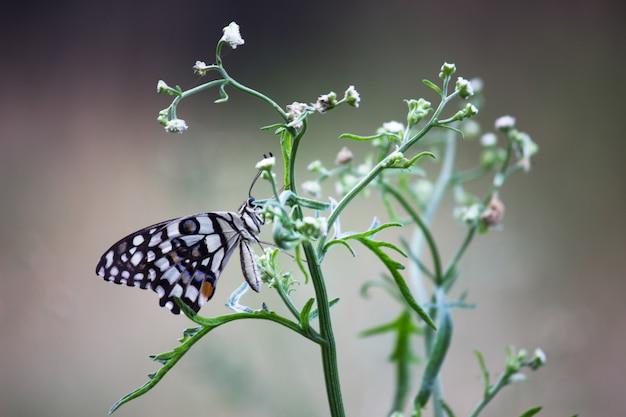 花の植物にライムバタフライ