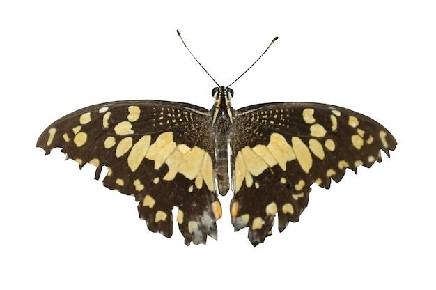 Лайм бабочка или лимонная бабочка