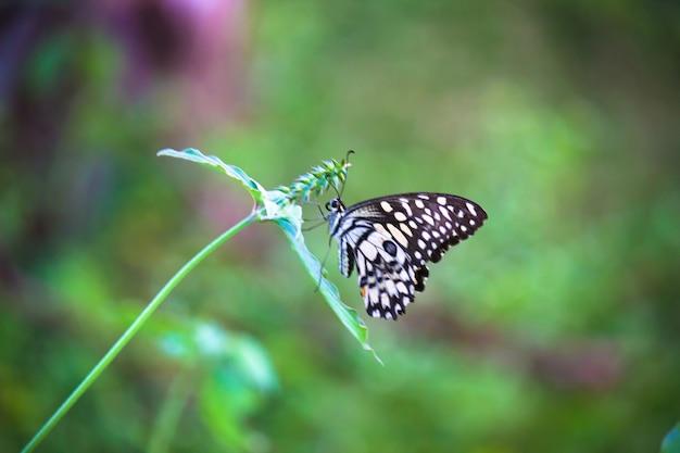 春の間に植物で休むライムバタフライ