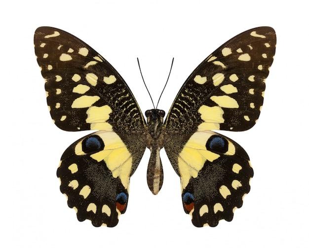 Лайм бабочка с нижними крыльями