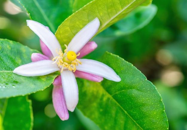 Цветок лайма, лимон на дереве, с зелеными листьями, на поверхности размытых листьев, макро