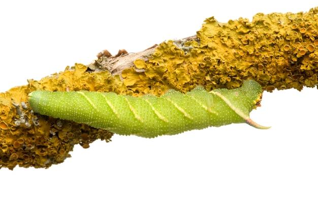 ライムホーク蛾の幼虫-分離した白のミマスtiliae
