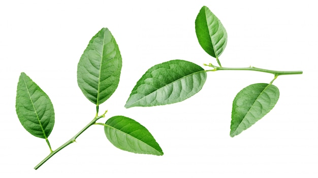 Lime leaf on white.