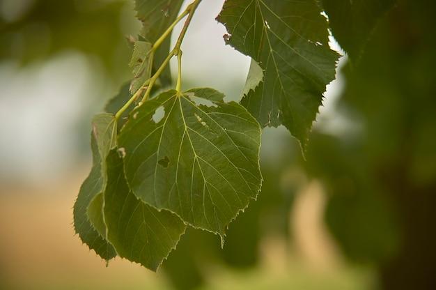 라임 잎은 그것을 먹는 일부 해로운 곤충에 의해 먹히고 망가집니다.
