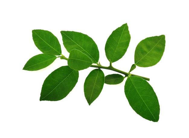 흰색 배경에 고립 된 라임 잎