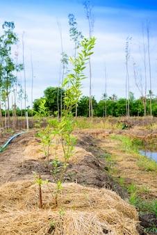 Lime tree planting