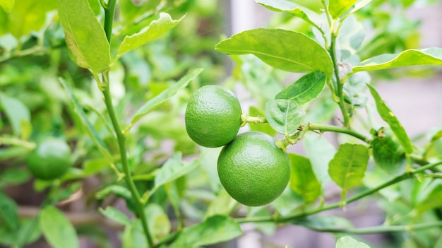 Lime tree in a vegetable garden.