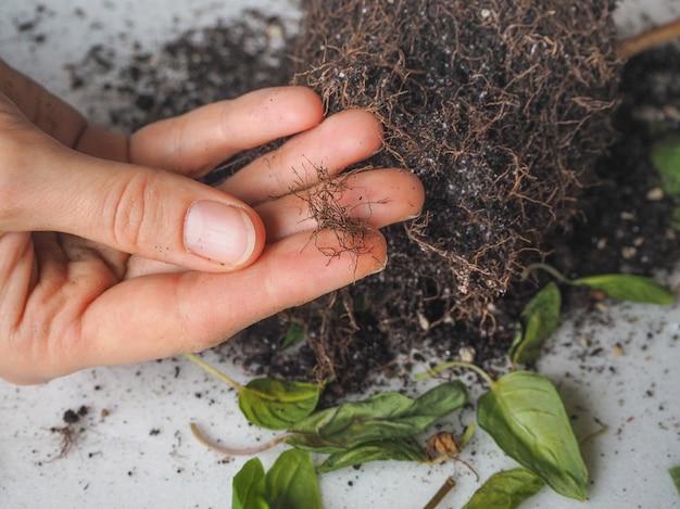 リンプの葉、根系の腐敗
