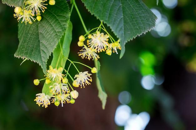 花と葉のあるリンデンの枝。リンデンブロッサム_