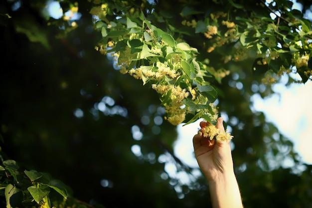 手にリンデンの花