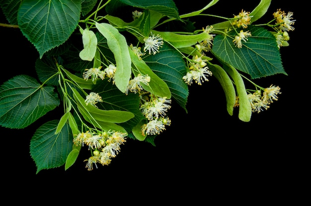 Linden flowers isolated on black