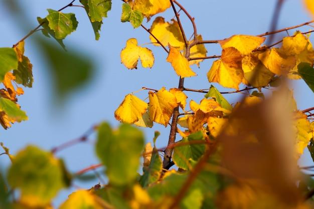 葉のある菩提樹