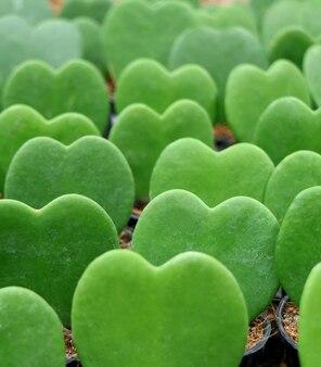 Lined up green hoya kerrii or luckyheart plants