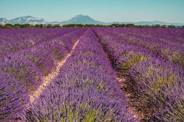 Lines of purple flowers bushes lavander fields in provence france