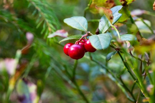 Lingonberry growing in the forest closeup. ripe red lingonberry berry in the wild after rain, soft focus.