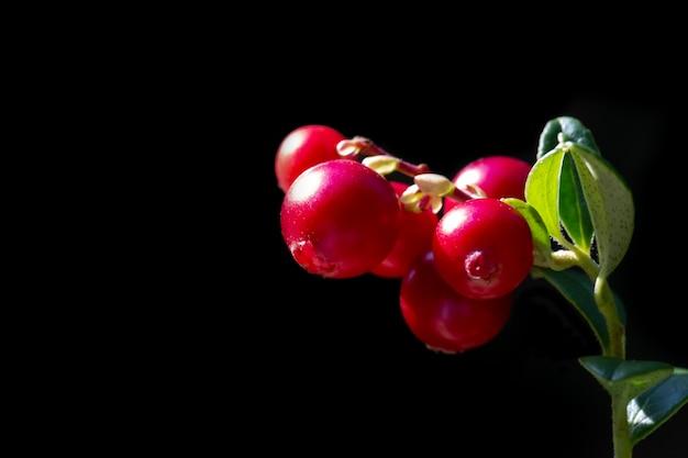 Брусника на ветке на черном фоне. красные лесные ягоды
