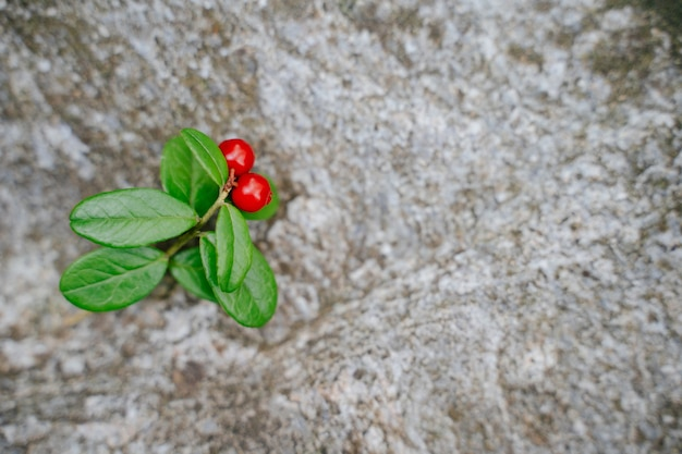바위 복사 공간 근접 촬영 보기에 녹색 잎이 있는 링곤베리
