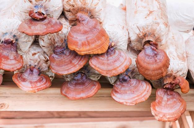Lingzhi 버섯, 보육 가방에있는 ganoderma lucidum. 유기농 농장에서 굴 버섯 재배