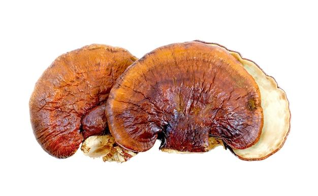 Lingzhi mushroom on white