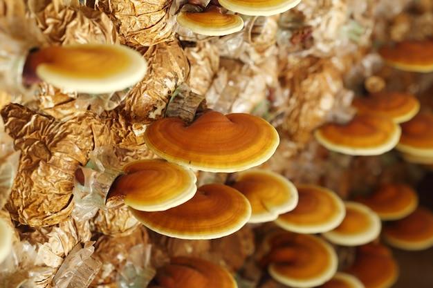 링지 버섯