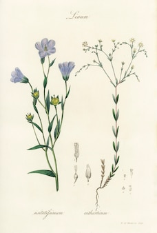 Лен (linum) иллюстрация из медицинской ботаники (1836)
