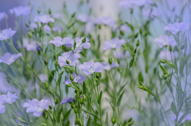 Linum lewisii flower. голубые цветы льна