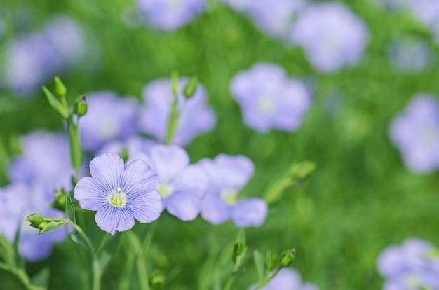 Linum lewisiiの花です。青い亜麻の花