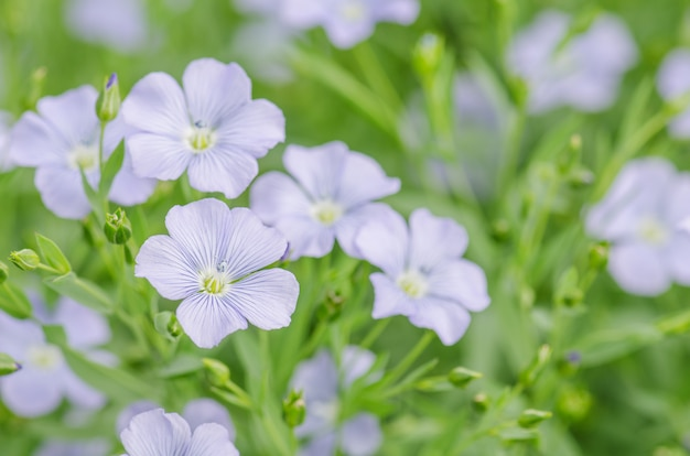 Linum perenne (perennial flax). blue flowers of flax