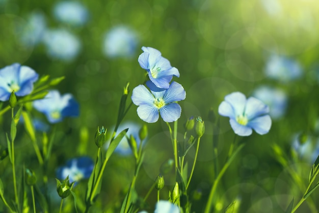 亜麻の花が咲く畑(linum perenne)。美しい自然の夏