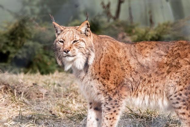 彼の生息地を探索好奇心が強いlinx猫