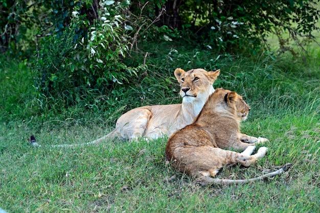 Lion in the african savannah masai mara