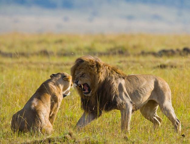 Лев и львица встречаются в саванне. национальный парк. кения. танзания. масаи мара. серенгети.