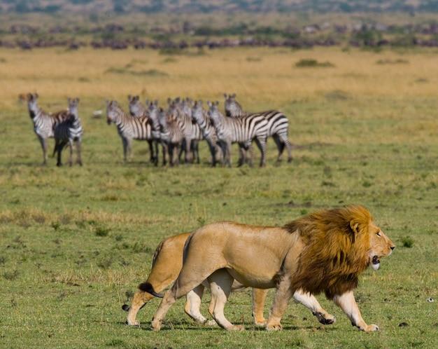 사자와 암 사자가 사바나에서 만나고 있습니다. 국립 공원. 케냐. 탄자니아. 마사이 마라. 세렝게티.