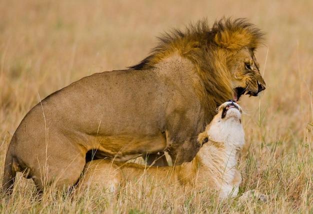 Лев и львица встречаются в саванне