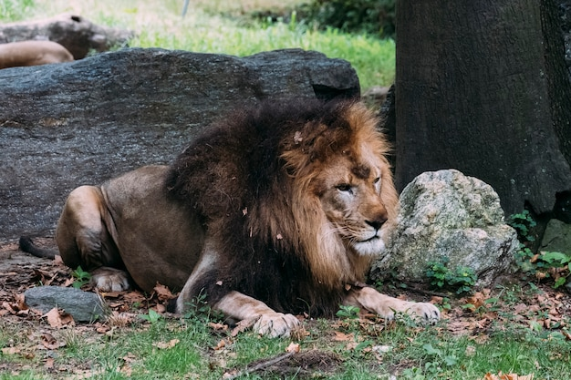 Lion at the bronx zoo. new york