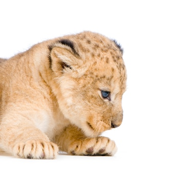 Lion cub  (3 weeks) lying down isolated.