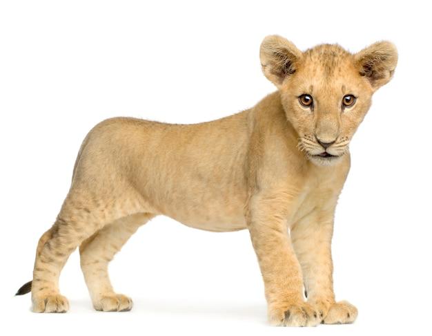 Lion cub (4 месяца) впереди на белом изолированные