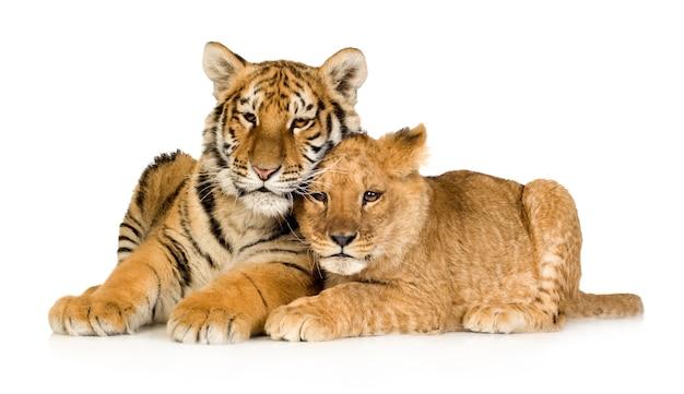 白の前でライオンカブ(5ヶ月)と虎の子(5ヶ月)