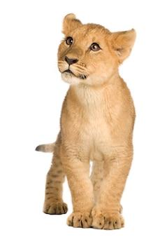Lion cub (5 месяцев) впереди на белом изолированные