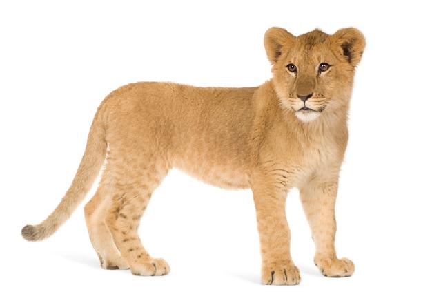 分離されたライオンカブ(6ヶ月)