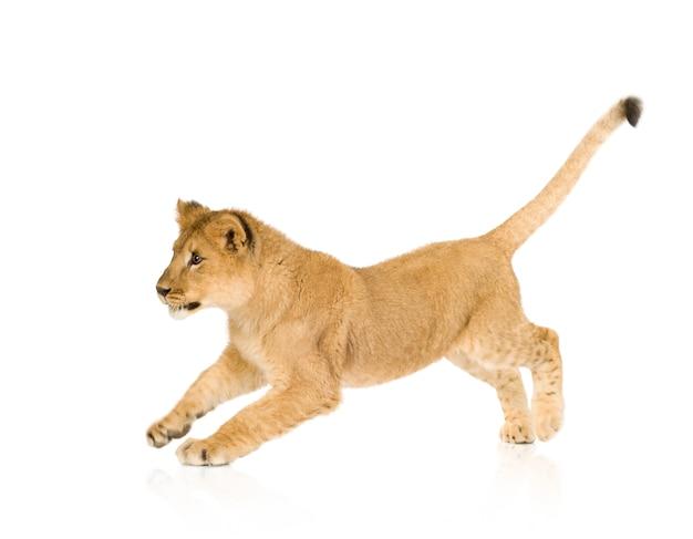 Lion cub (6 месяцев) изолированный
